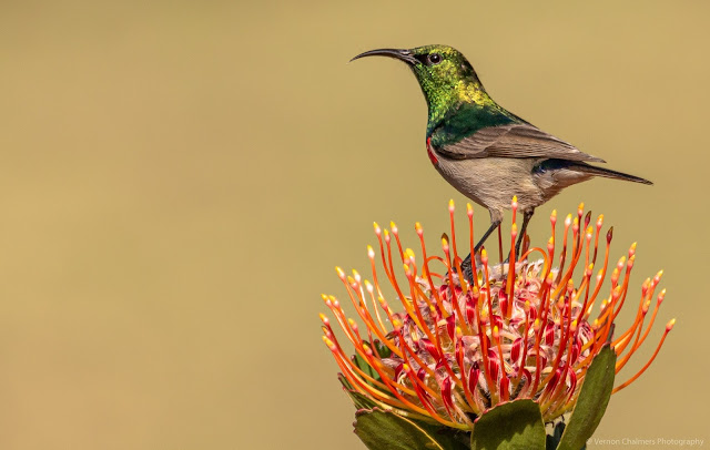 Southern Double-Collared Sunbird perched on a Pincushion Protea Kirstenbosch Vernon Chalmers Photography
