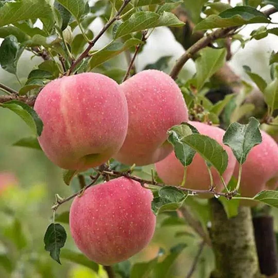 Ready! Bibit buah apel fuji Kota Malang #Jual bibit buah