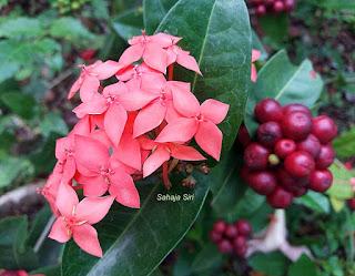 Wild ixora flower
