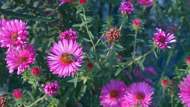Asternblüten locken viele Insekten an (c) by Joachim Wenk