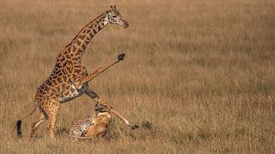 Jerapah mencoba menangkis singa yang menerkam anaknya