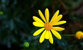पीला फूल
