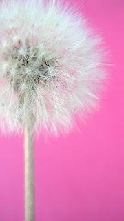 Wallpaper WA HP Samsung Pink