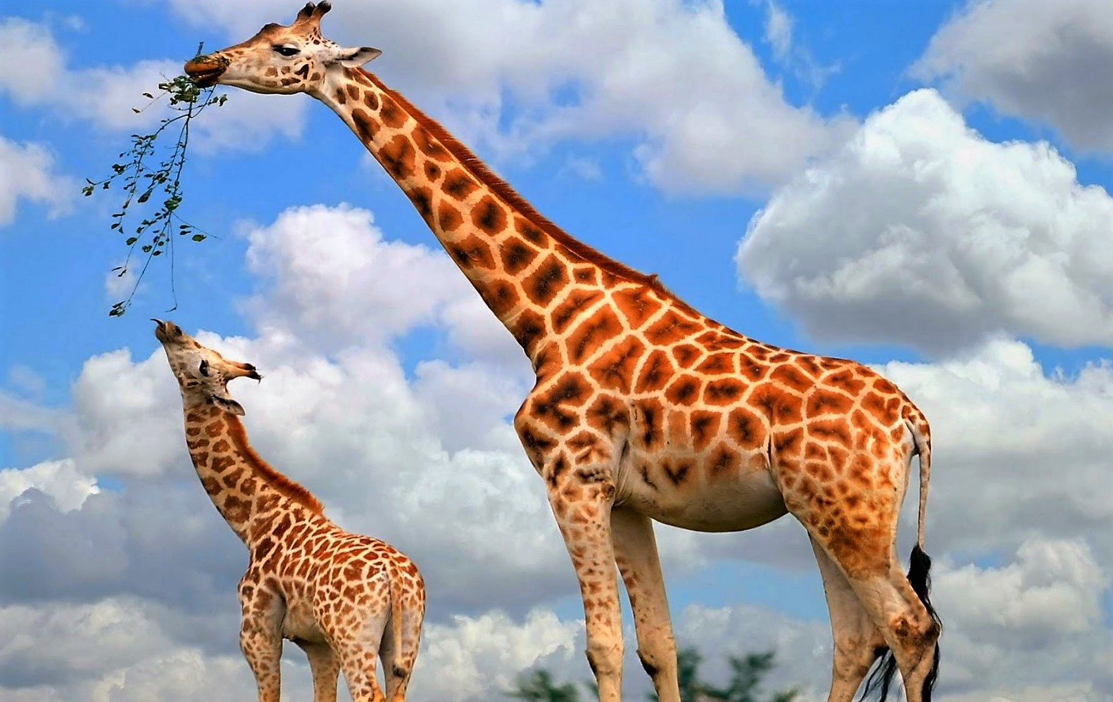 Een Gek Dier De Giraf: Fieggentrio: De Geboorte Van Een Giraf. (video