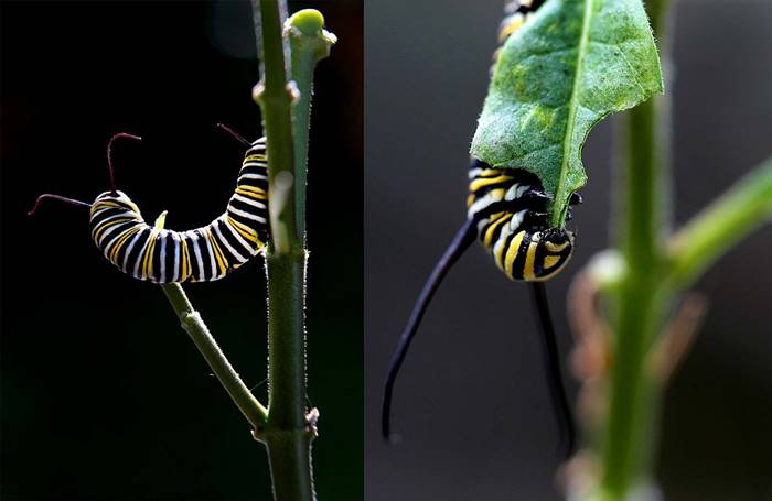 Butterfly monarchs are poisonous and disgusting to the birds because of the plant - a quacket that secures poisonous juice and which is eaten by caterpillars. The fact that the caterpillars are poisonous is evidenced by their bright colors: