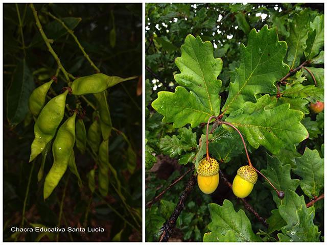 Frutos de lapachillo y de roble -Chacra Educativa Santa Lucía