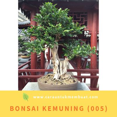 Bonsai Kemuning (005)