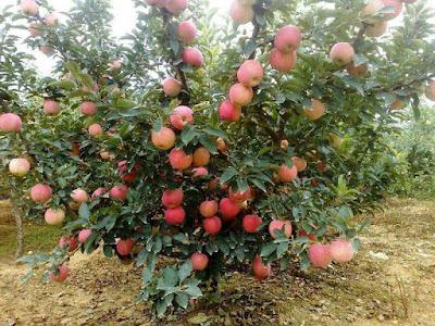 apple-tree-in-kasmir