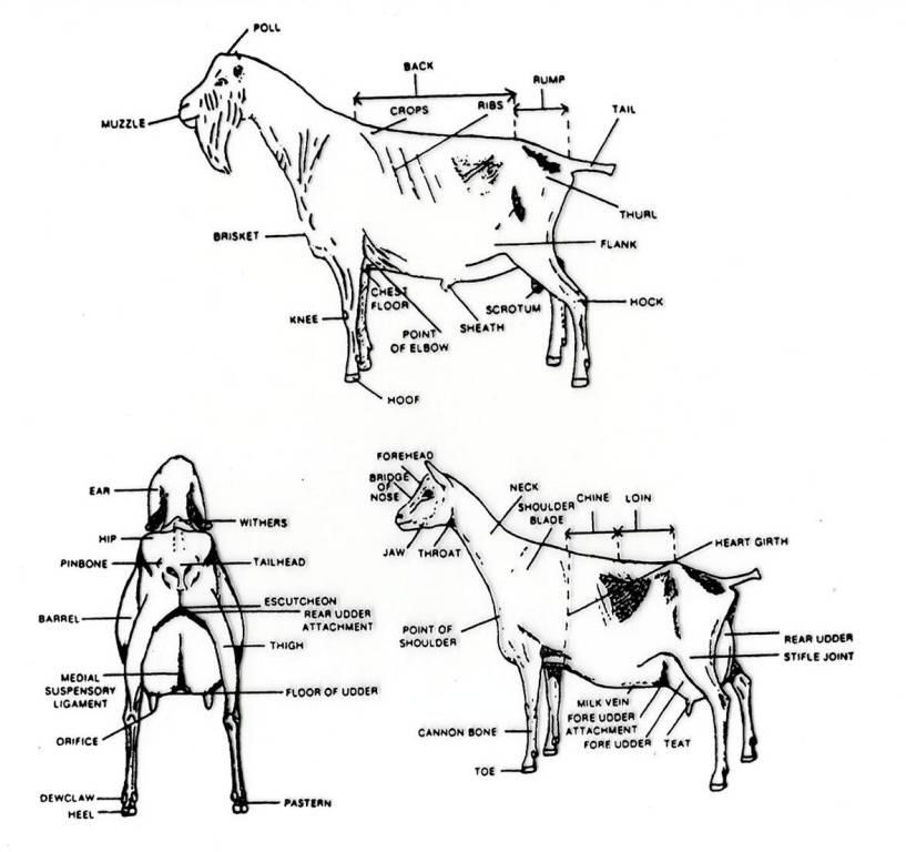 Dairy Goat Anatomy Wiring Diagram
