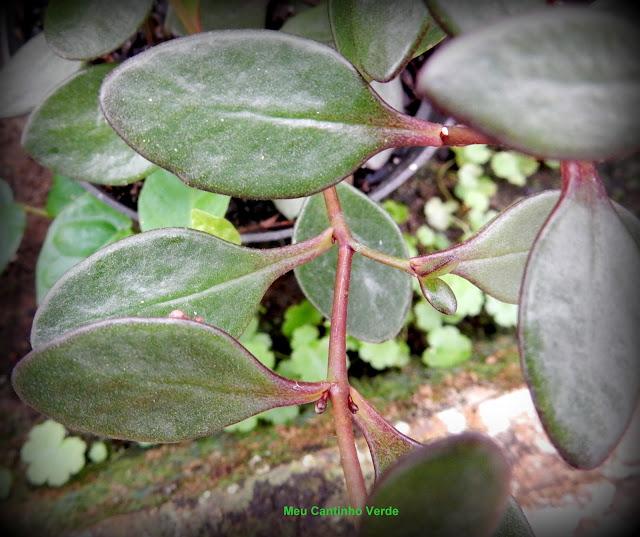 Leaf Bryophyllum  manginii