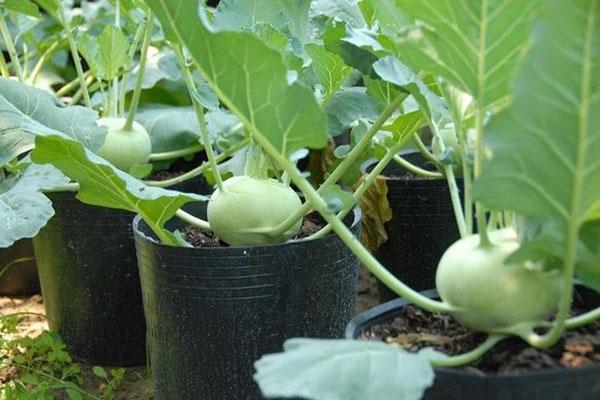 Cách trồng Su hào và kinh nghiệm trồng Su hào