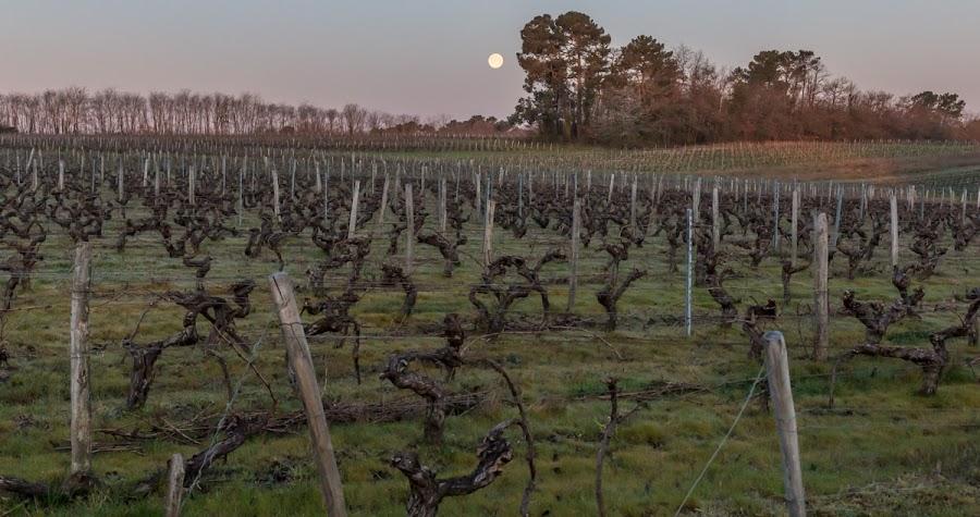 Moon over vineyards
