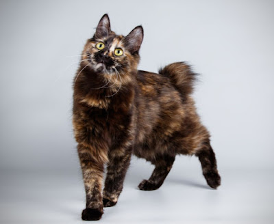 Kucing Kurilian Bobtail