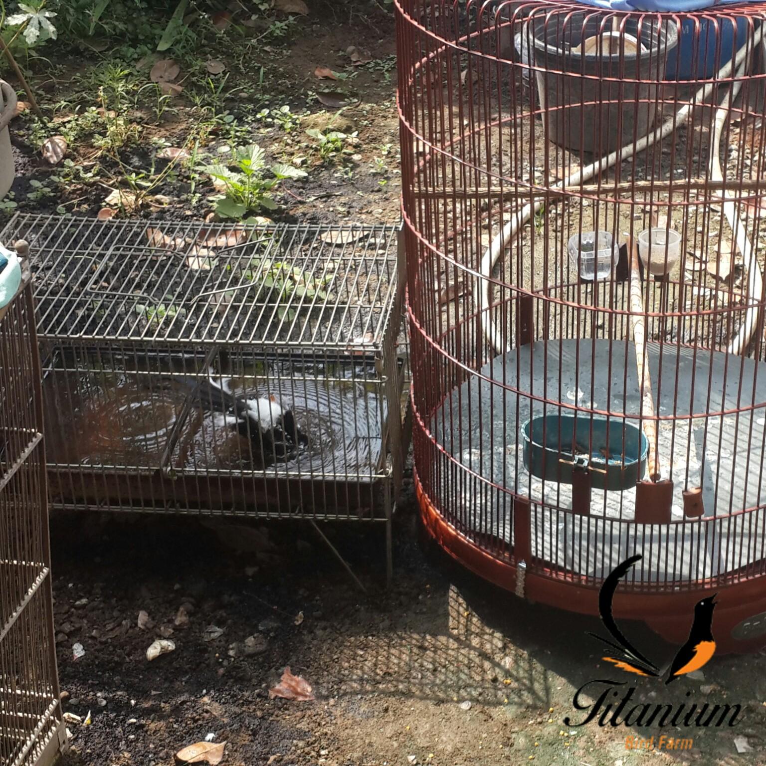 Beberapa Metode Mandi Untuk Mengoptimalkan Perawatan Murai Batu Titanium Bird Farm