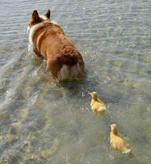 Imprinting psicologia. Patinhos seguindo cachorro na água.