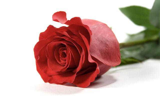 Witte achtergrond met een rode roos