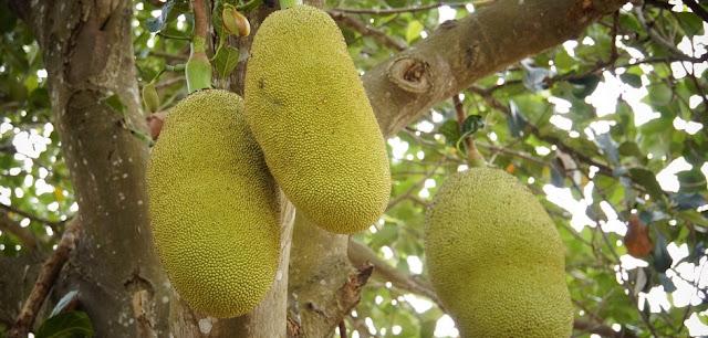 efek samping buah nangka