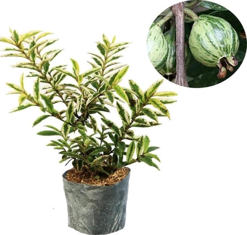 bibit buah jambu kerikil variegata Banten