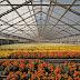 Stijging ODE-tarieven 2020: gemiddeld kosteneffect voor heel de glastuinbouwsector beperkt