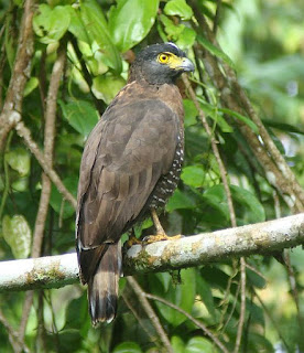 Jual Elang Ular Sulawesi (Spilornis rufipectus),  Harga Elang Ular Sulawesi (Spilornis rufipectus),  Toko Elang Ular Sulawesi (Spilornis rufipectus),  Diskon Elang Ular Sulawesi (Spilornis rufipectus),  Beli Elang Ular Sulawesi (Spilornis rufipectus),  Review Elang Ular Sulawesi (Spilornis rufipectus),  Promo Elang Ular Sulawesi (Spilornis rufipectus),  Spesifikasi Elang Ular Sulawesi (Spilornis rufipectus),  Elang Ular Sulawesi (Spilornis rufipectus) Murah,  Elang Ular Sulawesi (Spilornis rufipectus) Asli,  Elang Ular Sulawesi (Spilornis rufipectus) Original,  Elang Ular Sulawesi (Spilornis rufipectus) Jakarta,  Jenis Elang Ular Sulawesi (Spilornis rufipectus),  Budidaya Elang Ular Sulawesi (Spilornis rufipectus),  Peternak Elang Ular Sulawesi (Spilornis rufipectus),  Cara Merawat Elang Ular Sulawesi (Spilornis rufipectus),  Tips Merawat Elang Ular Sulawesi (Spilornis rufipectus),  Bagaimana cara merawat Elang Ular Sulawesi (Spilornis rufipectus),  Bagaimana mengobati Elang Ular Sulawesi (Spilornis rufipectus),  Ciri-Ciri Hamil Elang Ular Sulawesi (Spilornis rufipectus),  Kandang Elang Ular Sulawesi (Spilornis rufipectus),  Ternak Elang Ular Sulawesi (Spilornis rufipectus),  Makanan Elang Ular Sulawesi (Spilornis rufipectus),  Elang Ular Sulawesi (Spilornis rufipectus) Termahal,  Adopsi Elang Ular Sulawesi (Spilornis rufipectus),  Jual Cepat Elang Ular Sulawesi (Spilornis rufipectus),  Kreatif Elang Ular Sulawesi (Spilornis rufipectus),  Desain Elang Ular Sulawesi (Spilornis rufipectus),  Order Elang Ular Sulawesi (Spilornis rufipectus),  Kado Elang Ular Sulawesi (Spilornis rufipectus),  Cara Buat Elang Ular Sulawesi (Spilornis rufipectus),  Pesan Elang Ular Sulawesi (Spilornis rufipectus),  Wisuda Elang Ular Sulawesi (Spilornis rufipectus),  Ultah Elang Ular Sulawesi (Spilornis rufipectus),  Nikah Elang Ular Sulawesi (Spilornis rufipectus),  Wedding Elang Ular Sulawesi (Spilornis rufipectus),  Flanel Elang Ular Sulawesi (Spilornis rufipectus),  Special Elang Ular 