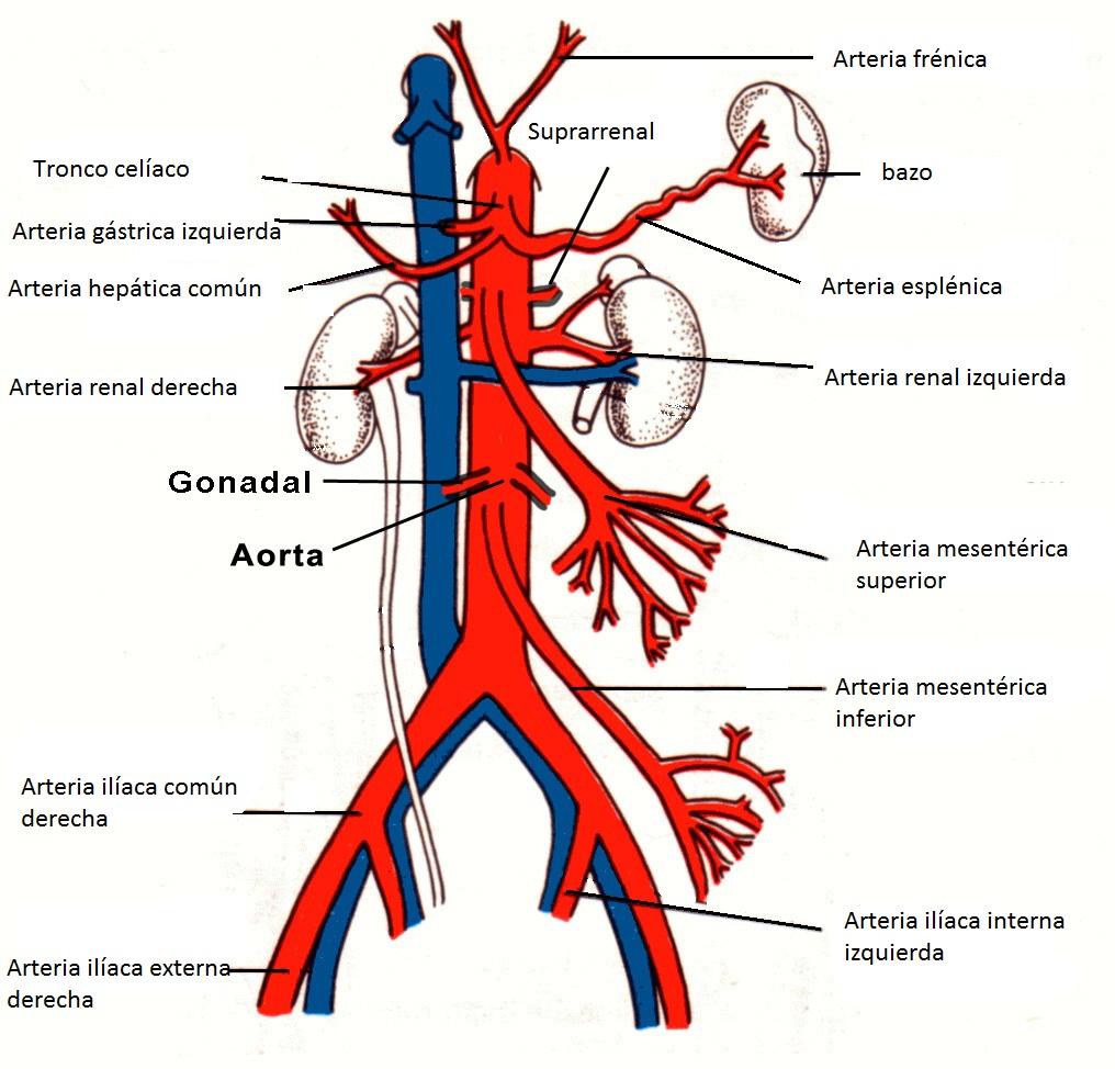Anatomía y fisiología abdominal.