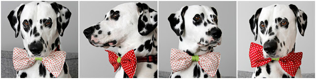 Dalmatian dog modelling a homemade reversible polka dot bow tie