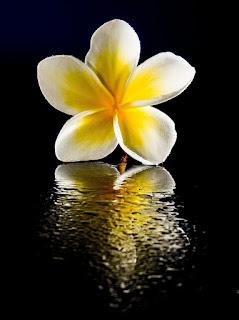 siapa sih yang tidak mengenal bunga indah ini 20+ Gambar Bunga Kamboja Indah