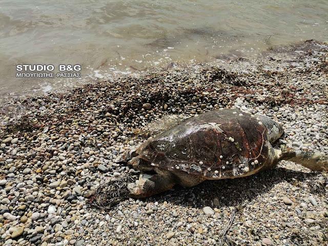 Αργολίδα: Νεκρή θαλάσσια χελώνα στο Τημένιο