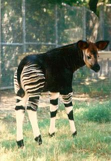 Keeper Of The Zoo Baby Okapi At The Bronx Zoo