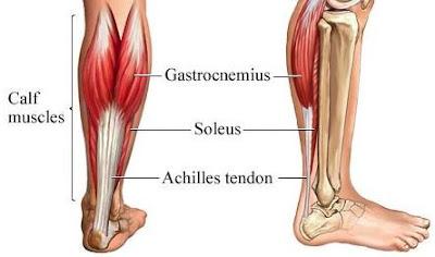 Anatomi soleus pada tubuh manusia, bahasan anatomi origo soleus, insersi soleus, persarafan soleus, perdarahan soleus, dan aksi soleus