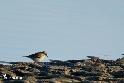 El bisbita alpino (Anthus spinoletta) como su nombre indica vive en las cumbres. En invierno baja en altura hasta estas zonas. A ese movimiento se le conoce como migración altitudinal.