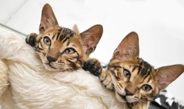 chat du bengal caractère