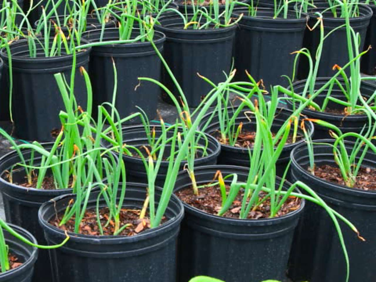 menanam-daun-bawang-di-pot.jpg