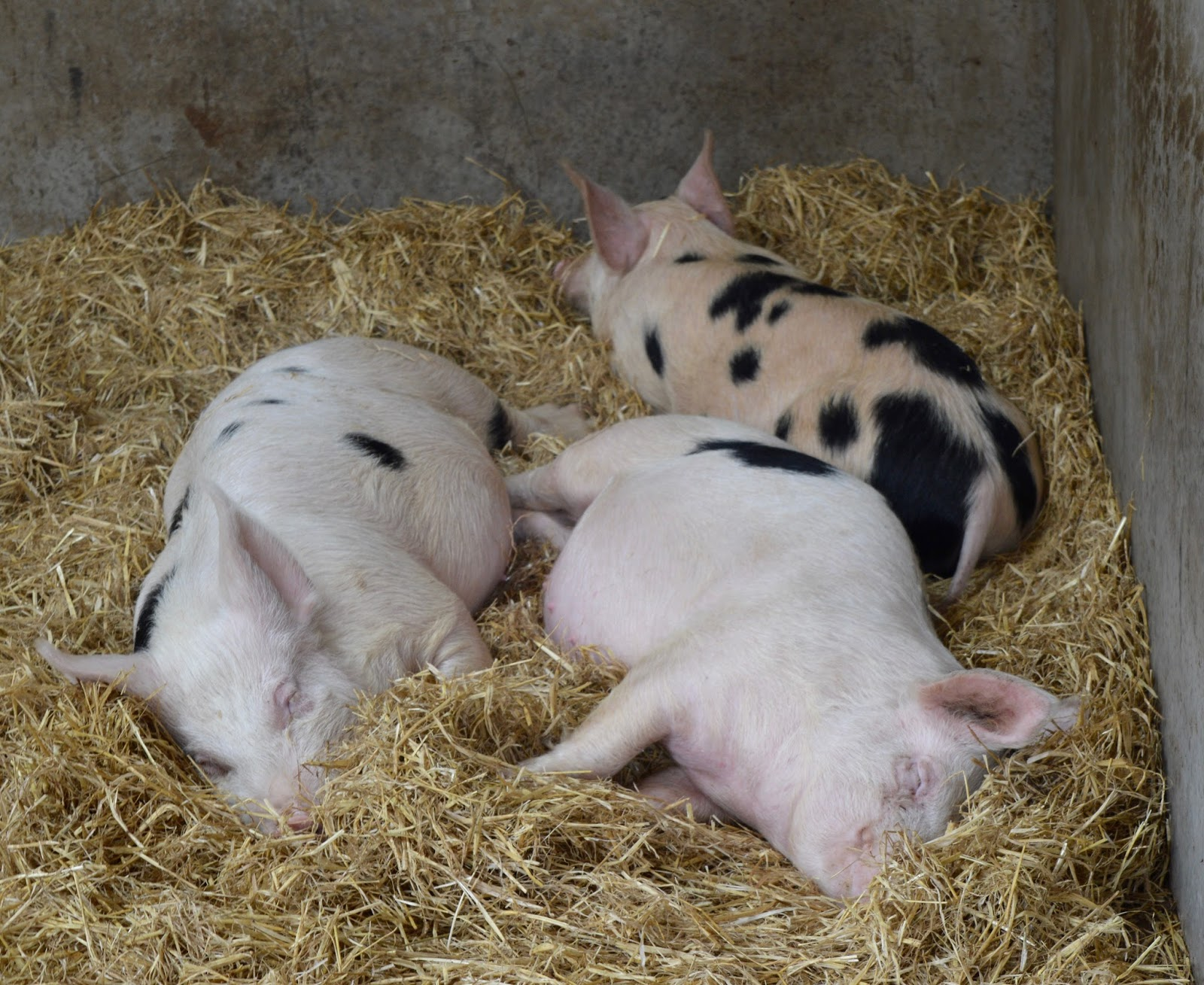 Ouseburn Farm Newcastle | A FREE Place to Take the Kids - pigs in the farm yard