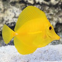 Ikan Burung Laut Kuning atau Yellow Tang Fish