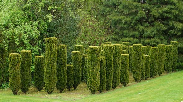 Evergreen boxwood trees used for privacy hedges and shade