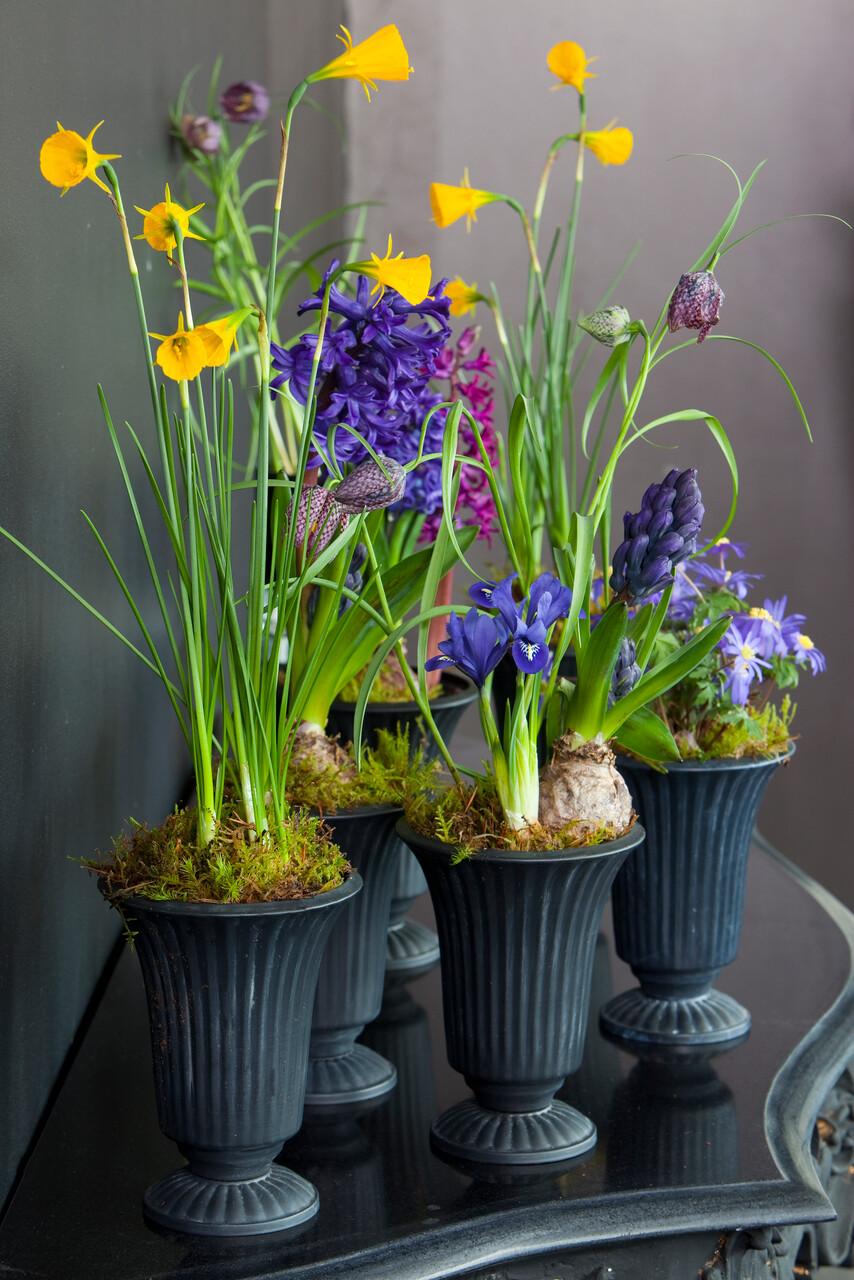 Flores amarillas de narcisos miniatura o enanos con flores en forma de trompeta