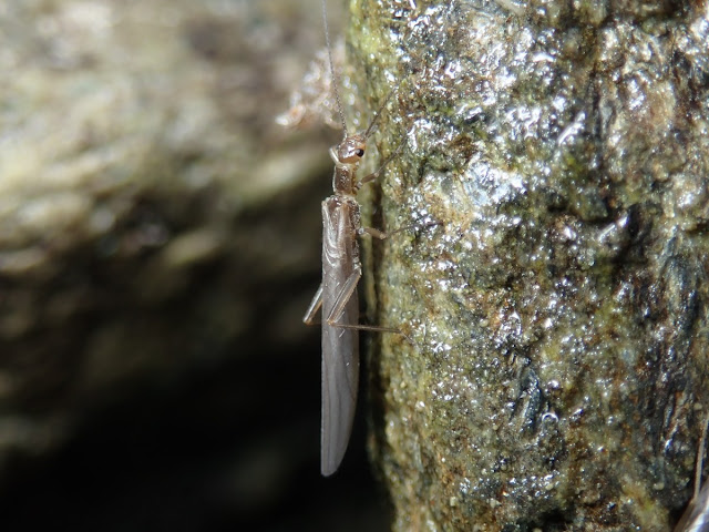 Leuctridae