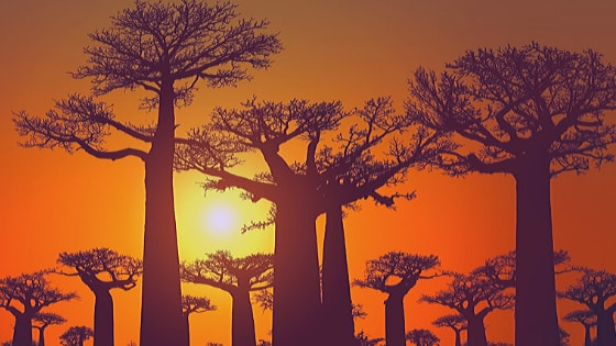 The Baobab is the world's largest tree is found in South Africa.