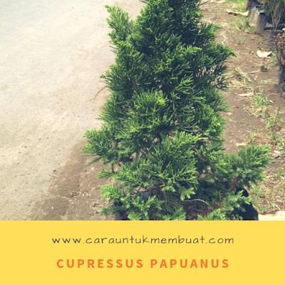 Cupressus Papuanus