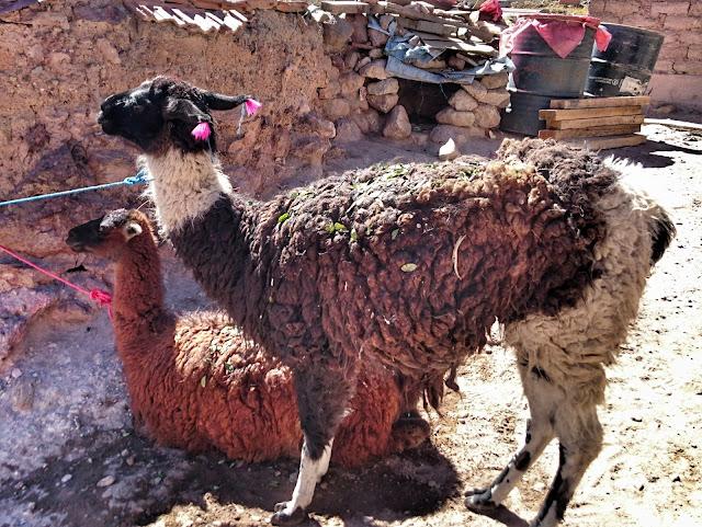 Lama mit Coca-Blättern übersät
