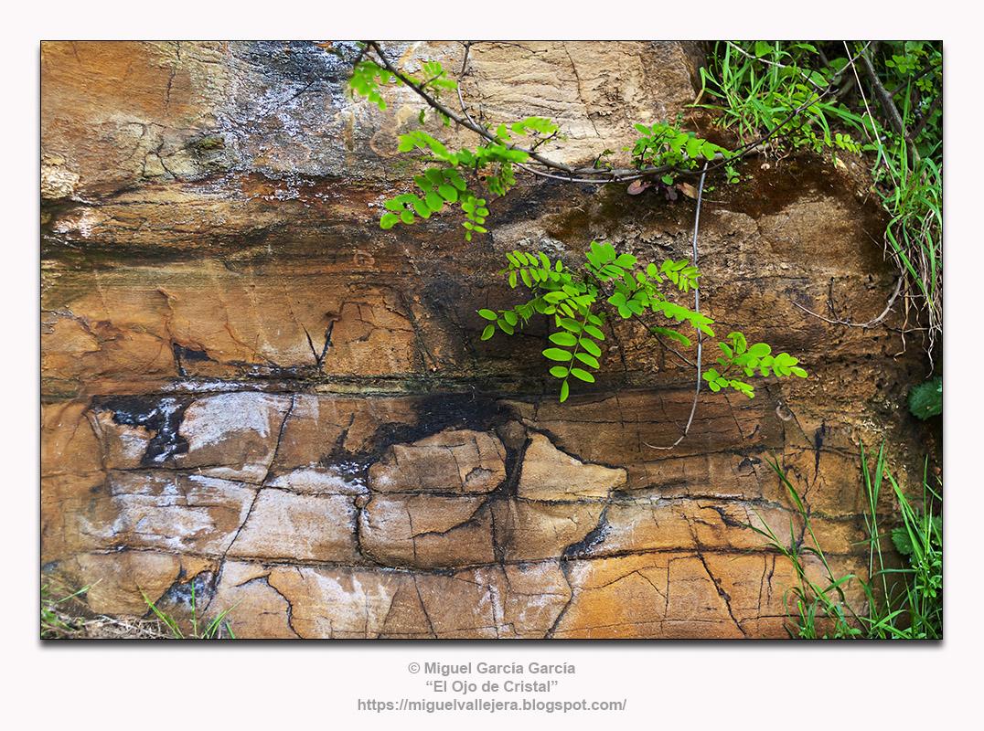 Acacia o Robinia Pseudoacacia creciendo en talud junto a la playa de Porto de Santa Cruz, Oleiros (A Coruña)