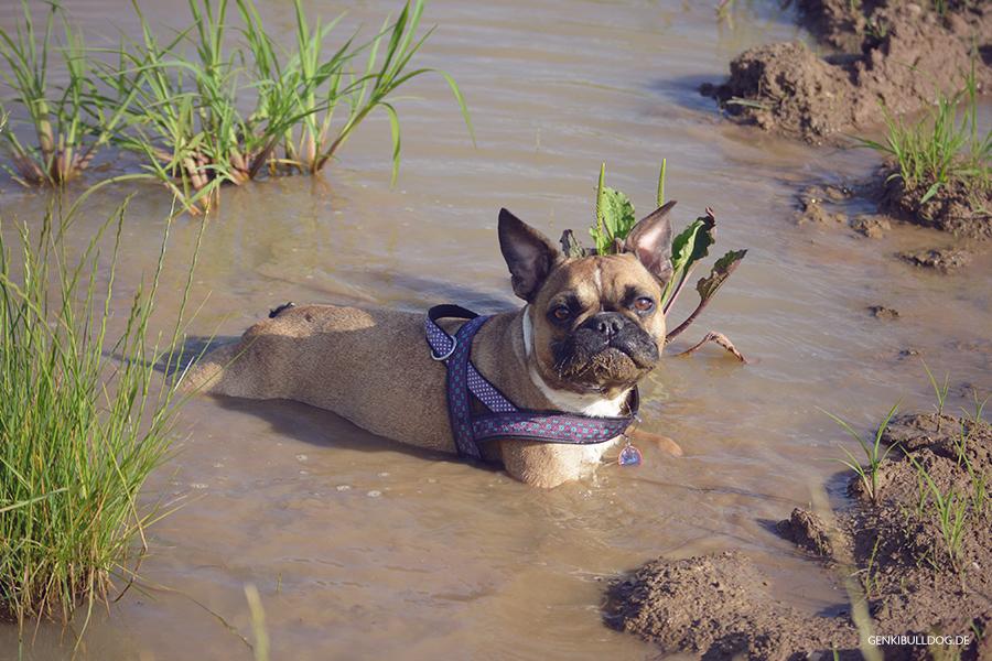 Genki Bulldog Abenteuer einer französischen Bulldogge Pfützenliege