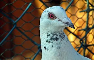 Burung Dara Balap