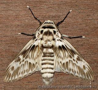 polilla Oruga peluche (Podalia orsilochus)