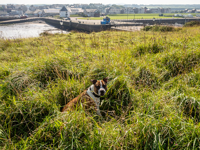 Photo of Ruby sitting in the long grass by the lighthouse with Maryport Basin and the marina in the background
