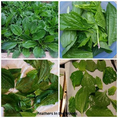 plantain, herbal medicine