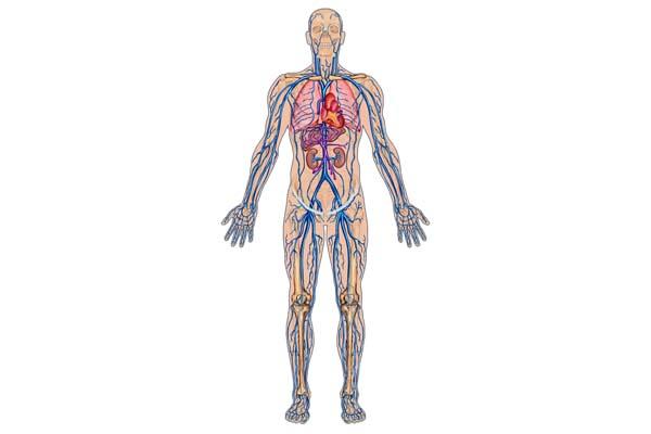 Sistem Peredaran Darah Manusia Full Lengkap