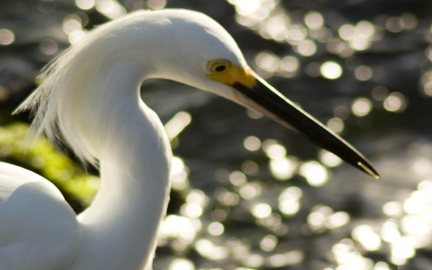 Beautiful And Dangerous Animals Birds Hd Wallpapers: Snowy Egret Fresh Hd Wallpapers 2013