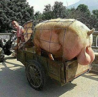 Lachender Mann mit Schwein auf Anhänger - witzige Bilder